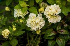Fleurs blanches et jaunes photo stock