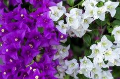 Fleurs blanches et pourpres Photographie stock