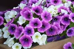 Fleurs blanches et pourpres de pétunia images libres de droits
