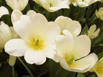 Fleurs blanches et pures Photographie stock libre de droits
