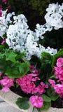 Fleurs blanches et roses Photographie stock libre de droits