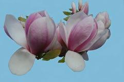 Fleurs blanches et roses d'arbre de tulipe Photographie stock