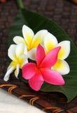 Fleurs blanches et roses de Frangiapani photos libres de droits
