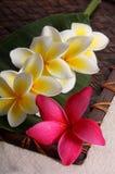Fleurs blanches et roses de Frangiapani photographie stock
