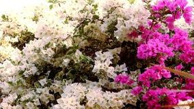 Fleurs blanches et roses thaïlandaises de bouganvillées vidéo banque de vidéos
