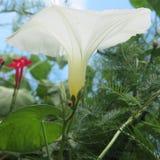 Fleurs blanches et rouges de vigne Photos stock