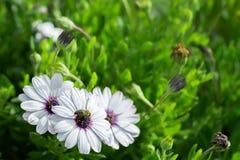 Fleurs blanches et une abeille, herbe de camomille, ressort en Grèce Beau papier peint Image libre de droits