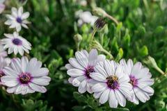 Fleurs blanches et une abeille, herbe de camomille, ressort en Grèce Beau papier peint Photo stock