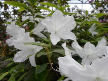 Fleurs blanches, fleurs Arbre de floraison au printemps Fleurs blanches, blanc d'azalées, camélias Ressort, fleurs Floraison de r Photos stock