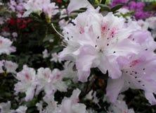 Fleurs blanches, fleurs Arbre de floraison au printemps Fleurs blanches, blanc d'azalées, camélias Ressort, fleurs Floraison de r Image stock