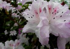 Fleurs blanches, fleurs Arbre de floraison au printemps Fleurs blanches, blanc d'azalées, camélias Ressort, fleurs Floraison de r Photos libres de droits