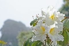 Fleurs blanches fond, azalée d'arboreum de rhododendron en parc national d'inthanon de doi de la Thaïlande en Chiang Mai, la plus photo stock