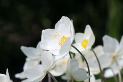 Fleurs blanches, fond des fleurs blanches Images libres de droits