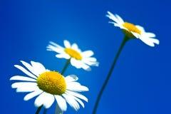 Fleurs blanches fraîches de camomille Photographie stock libre de droits