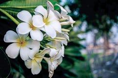 Fleurs blanches - Frangipani alba de Plumeria photographie stock libre de droits