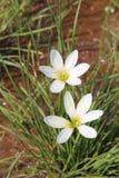 Fleurs blanches humides de lis de pluie Image libre de droits