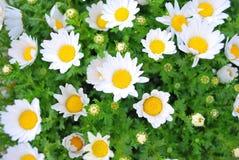 Fleurs blanches japonaises pendant la source Images libres de droits
