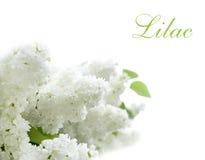 Fleurs blanches lilas Photos stock