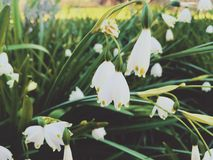 Fleurs blanches lumineuses de flocon de neige photo stock
