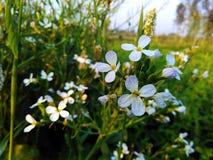 Fleurs blanches minuscules Photo libre de droits