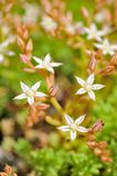 Fleurs blanches minuscules de Sedum Hispanicum (orpin) Photo stock