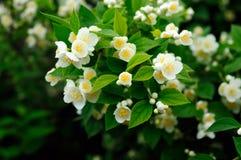 Fleurs blanches Orientation molle Photo libre de droits
