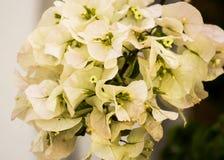 Fleurs blanches ornementales de bouganvillée de Splendurous Images stock