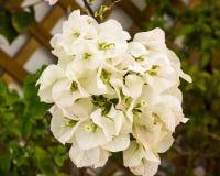 Fleurs blanches ornementales de bouganvillée de Splendurous Photographie stock libre de droits