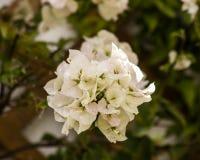 Fleurs blanches ornementales de bouganvillée de Splendurous Photos stock