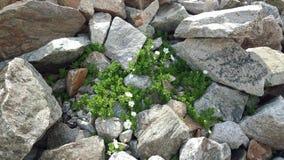 Fleurs blanches parmi les pierres Photographie stock libre de droits