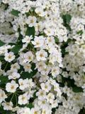 Fleurs blanches, plan rapproché Bush des fleurs blanches Images stock
