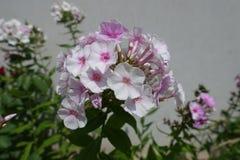 Fleurs blanches rosâtres de paniculata de phlox Photographie stock libre de droits