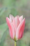 Fleurs blanches rosâtres de tulipe Photographie stock