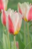 Fleurs blanches rosâtres de tulipe Photographie stock libre de droits