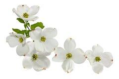 Fleurs blanches roses de cornouiller Photos stock