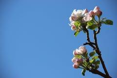 Fleurs blanches roses de floraison fleurissantes pures et douces de pommes Color? de naturel photographie stock libre de droits