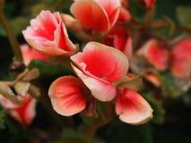 Fleurs blanches rouges Photo libre de droits