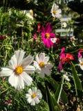 Fleurs blanches sauvages photo libre de droits