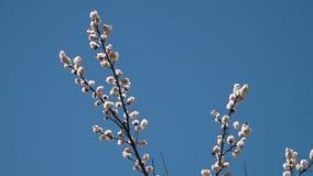 Fleurs blanches sauvages d'un arbre banque de vidéos