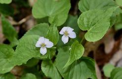 Fleurs blanches savoureuses de violette de Canada Image libre de droits