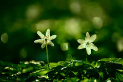 Fleurs blanches sensibles d'anémone Images libres de droits