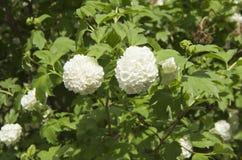 Fleurs blanches sous forme de buisson de boules, jardin d'agrément de floraison d'arbuste vert photographie stock libre de droits