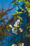 Fleurs blanches sur l'arbre au printemps avec le bâtiment moderne bleu profond Image stock