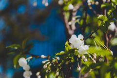 Fleurs blanches sur l'arbre au printemps avec le bâtiment moderne bleu profond Photos libres de droits