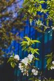 Fleurs blanches sur l'arbre au printemps avec le bâtiment moderne bleu profond Photo stock