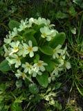 Fleurs blanches sur l'herbe verte Photo stock