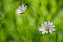 Fleurs blanches sur l'herbe verte Photo libre de droits