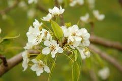 Fleurs blanches sur la fleur de poire de branche au printemps photos stock