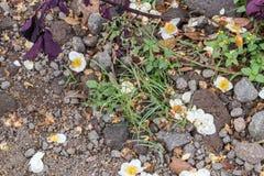 Fleurs blanches sur le fond au sol Île tropicale Bali, Indonésie photographie stock libre de droits