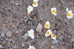 Fleurs blanches sur le fond au sol Île tropicale Bali, Indonésie images stock